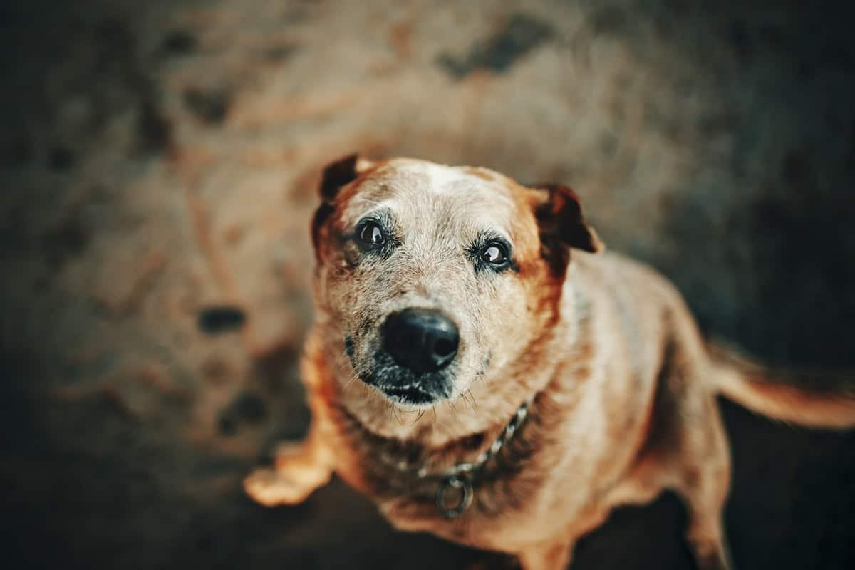 looking-after-an-older-dog